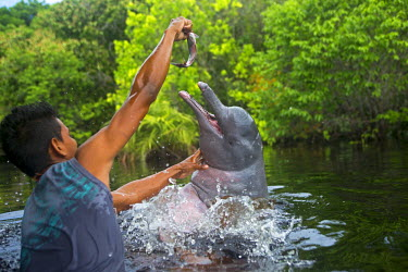 HMS1907140 Brazil, Amazonas state, Amazon river basin, along Rio Negro, Amazon River Dolphin, Pink River Dolphin or Boto (Inia geoffrensis), wild animal in tannin-rich water, Threatened species (IUCN Red List),...
