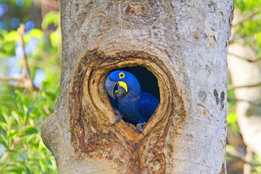 HMS0798923 Brazil, Mato Grosso, Pantanal area, Hyacinth Macaw (Anodorhynchus hyacinthinus), adult, in the nest, hole in a tree
