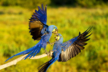 HMS0799114 Brazil, Mato Grosso, Pantanal area, Hyacinth Macaw (Anodorhynchus hyacinthinus), adult