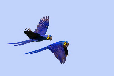 HMS0801170 Brazil, Mato Grosso, Pantanal area, Hyacinth Macaw (Anodorhynchus hyacinthinus), adult