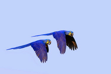 HMS0801171 Brazil, Mato Grosso, Pantanal area, Hyacinth Macaw (Anodorhynchus hyacinthinus), adult