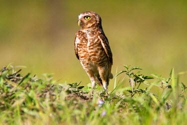 HMS0801239 Brazil, Mato Grosso, Pantanal area, Burrowing Owl (Athene cunicularia)