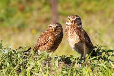 HMS0801237 Brazil, Mato Grosso, Pantanal area, Burrowing Owl (Athene cunicularia)