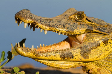 HMS1292939 Brazil, Mato Grosso, Pantanal area, listed as World Heritage by UNESCO, Yacare caiman (Caiman yacare)