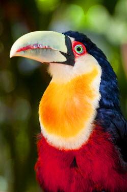 HMS0797462 Brazil, Parana state, Foz do Iguacu, the Parque das Aves (bird park), toucan
