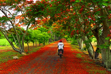MTS0022AW A man cycles along a road strewn with the flowers from Flame trees, Flamboyant, Mauritius, Indian Ocean