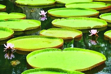 MTS0023AW Blooming Water Lily, Victoria Regia, Sir Seewoosagur Rangoolam Botanical Garden, Pamplemousses, Mauritius, Indian Ocean