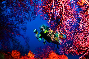 ARFOJA000048 A diver explores sea fans growing on Lesleen M freighter wreck off Castries, St. Lucia.