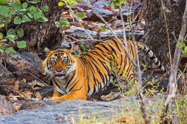 IND7674 India, Rajasthan, Ranthambhore. A large male Bengal tiger.