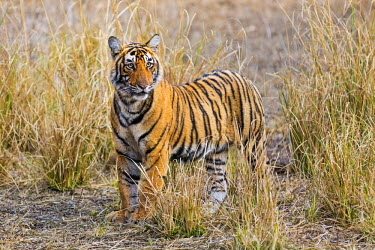 IND7681 India, Rajasthan, Ranthambhore.  A one-year-old Bengal tiger cub pauses in dry grassland.