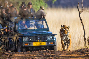 IND7683 India, Rajasthan, Ranthambhore.  A female Bengal tiger walks purposefully up a track followed by vehicles full of excited tourists.
