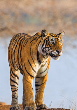 IND7687 India, Rajasthan, Ranthambhore.  A female Bengal tiger stares intently after calling her cubs.