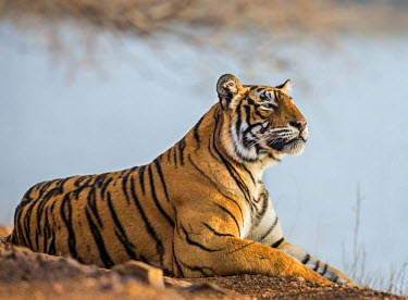 IND7688 India, Rajasthan, Ranthambhore.  A female Bengal tiger stares intently after calling her cubs.