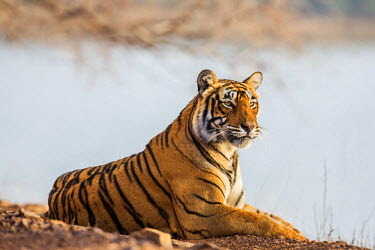 IND7690 India, Rajasthan, Ranthambhore.  A female Bengal tiger rests on the bank of a lake.