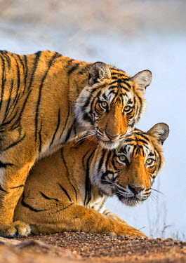 IND7693 India Rajasthan, Ranthambhore.  A female Bengal tiger with one of her one-year-old cubs.
