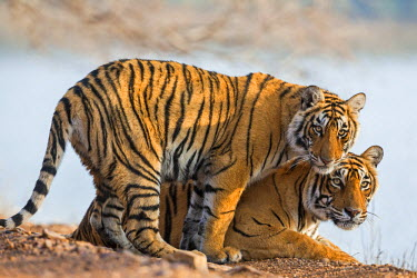 IND7694 India, Rajasthan, Ranthambhore.  A female Bengal tiger with one of her one-year-old cubs.