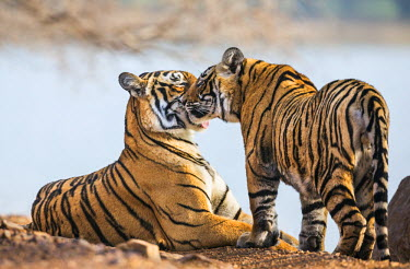 IND7695 India, Rajasthan, Ranthambhore.  A female Bengal tiger is greeted by one of her one-year-old male cubs.