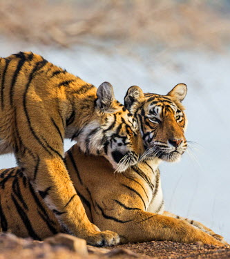 IND7696 India, Rajasthan, Ranthambhore.  A female Bengal tiger is greeted by one of her one-year-old cubs.