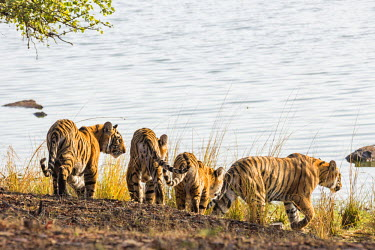 IND7699 India, Rajasthan, Ranthambhore.  A female Bengal tiger and her three one-year-old cubs go to a lake to drink.