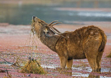 IND7712 India, Rajasthan, Ranthambhore.  A moulting Sambar deer stag feeds on grass and aquatic plants in a lake.