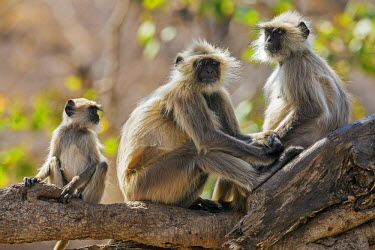 IND7715 India, Rajasthan, Ranthambhore.  A family of Gray langurs.