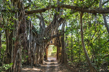 IND7720 India, Rajasthan, Ranthambhore.  A large Banyan tree covers an old entrance gate to the Ranthambhore National Park which was once the hunting ground of the Maharaja of Jaipur.