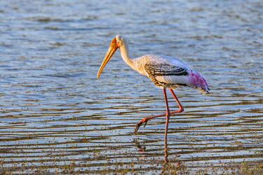 IND7731 India, Rajasthan, Ranthambhore.  A Painted Stork.