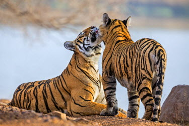 IND7691 India, Rajasthan, Ranthambhore.  A female Bengal tiger is greeted by one of her one-year-old male cubs.