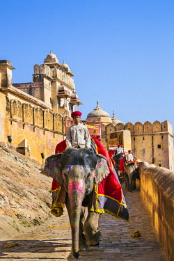 IND7852 India, Rajasthan, Jaipur, Amer.  Mahouts ride elephants down the narrow paved road from the magnificent 16th century Amber Fort.