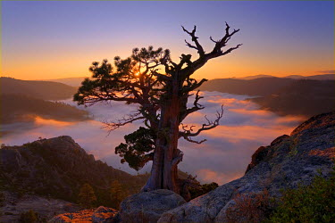 A dramatic old tree above a sea of clouds at sunrise on Donner Summit in California, USA