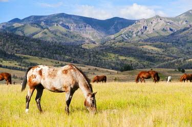 USA9943 Horses grazing at Bitterroot Ranch, Dubois, Wyoming, USA