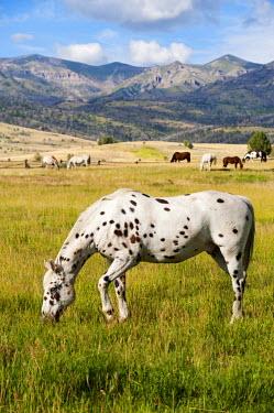 USA9945 Horses grazing at Bitterroot Ranch, Dubois, Wyoming, USA