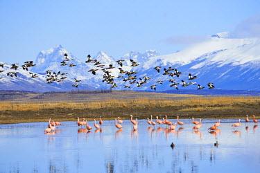 HMS2097182 Argentina, Patagonia, Santa Cruz, El Calafate, pink flamingo and gooses on lago argentino