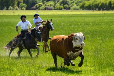 HMS1389968 Argentina, Buenos Aires Province, San Antonio de Areco, estancia La Bamba de Areco, gauchos at work chasing a bull