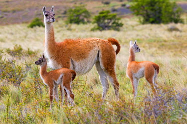 HMS1866758 Chile, Magallanes and Chilean Antarctic region, Ultima Esperanza province, Torres del Paine National Park, listed as Biosphere Reserve by UNESCO, Guanaco (Lama guanicoe), dult female and baby