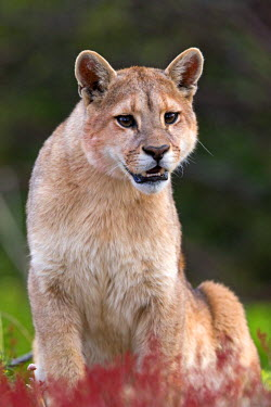 HMS1907623 Chile, Patagonia, Magellan Region, Torres del Paine National Park, cougar (Puma concolor), also known as the mountain lion, one year old