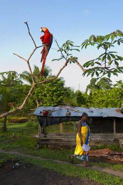 HMS2104786 France, French Guiana, Parc Amazonien de Guyane (Guiana Amazonian Park), Belikampoe, macaw (Ara chloroptera) and village woman