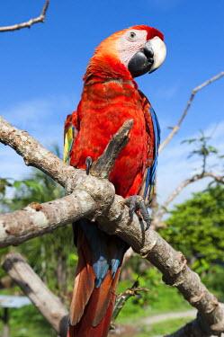HMS2104818 France, French Guiana, Parc Amazonien de Guyane (Guiana Amazonian Park), Belikampoe, macaw (Ara chloroptera)