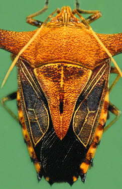HMS0649717 France, French Guiana (overseas department), Hemiptera, Pentatomidae, Stink bug (Edessa sp), portrait