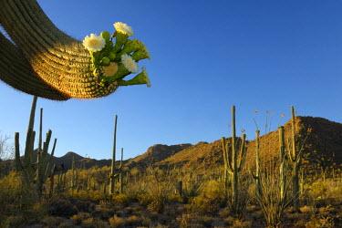USA10107AW USA, Southwest, Arizona, Saguaro National Park west unit, Blooming saguaro cactus