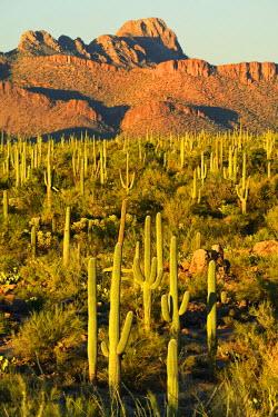 USA10126AW USA, Arizona, Tucson, Saguaro National Park, Last light at signal hill