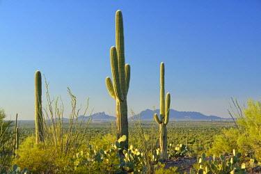 USA10135AW USA, Arizona, Tucson, Saguaro National Park, Signal Hill, View of Picacho Peak