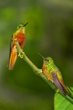 PER33876AW South America, Andes, Peru, Tambomachay, Cusco Province, Hummingbirds in cloud forest