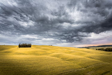 ITA4801AW Tuscany, Val d'Orcia, Italy. Cypress trees in a yellow meadow field with clouds gathering