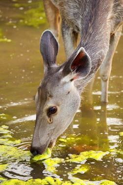 IND7923 India, Rajasthan, Ranthambore. A sambar deer feeding on weeds and aquatic plants.