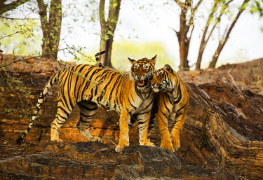 IND7935 India, Rajasthan, Ranthambore. Two Royal Bengal tigers keeping cool in the shade of the forest.