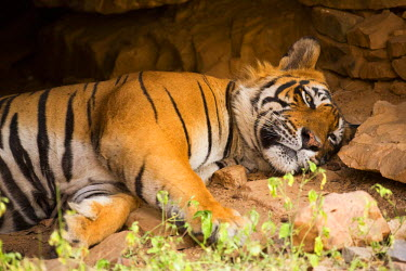 IND7952 India, Rajasthan, Ranthambore. Royal Bengal tiger known as Ustad (T24) resting in a cool cave.