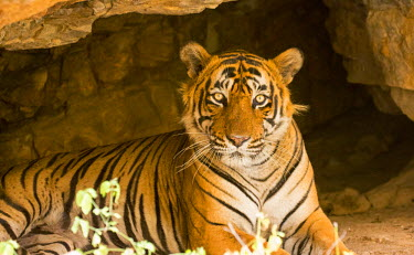 IND7954 India, Rajasthan, Ranthambore. Royal Bengal tiger known as Ustad (T24) resting in a cool cave.