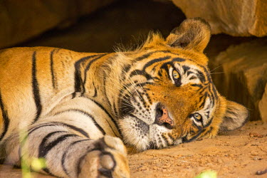 IND7957 India, Rajasthan, Ranthambore. Royal Bengal tiger known as Ustad (T24) resting in a cool cave.