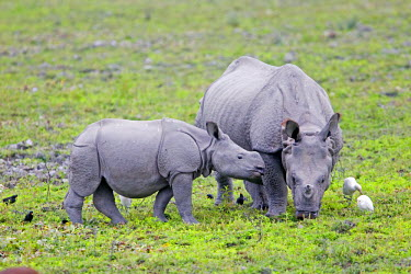 HMS0799270 India, State of Assam, Kaziranga National Park, listed as World Heritage by UNESCO, Asian One-horned rhino or Indian Rhinoceros or Greater One-horned Rhinoceros (Rhinoceros unicornis)